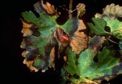 A que tipo de cultivos afecta esta bacteria