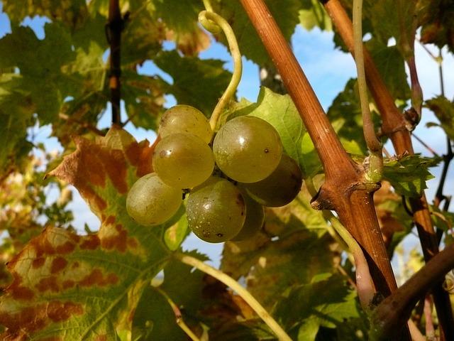 el cambio climatico y el viñedo