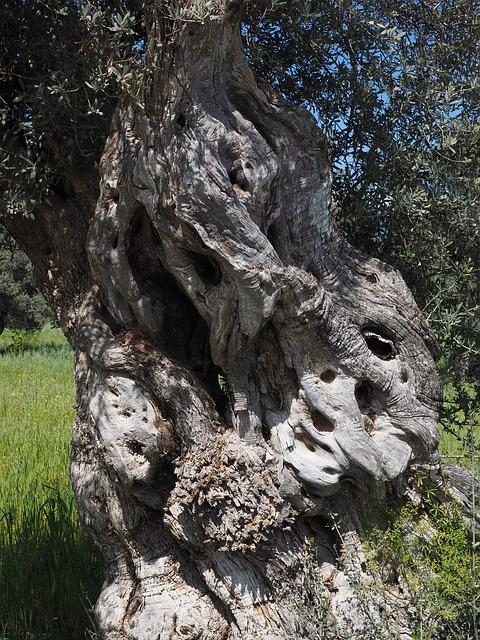 Son rentables los olivos centenarios