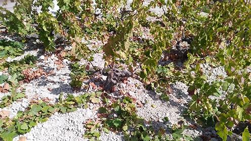 3 Formas de retener el agua y evitar la erosion en viñas de marco tradicional