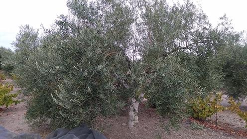 Ventajas y desventajas del verdeo de la aceituna