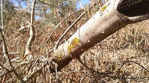 Cuantas fases tiene la Palomilla del olivo