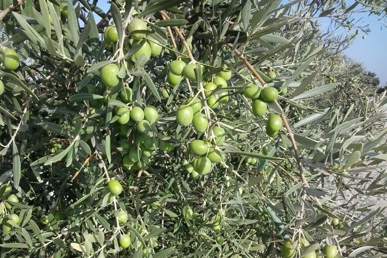 comprar aceite de oliva en cordoba no busques mas