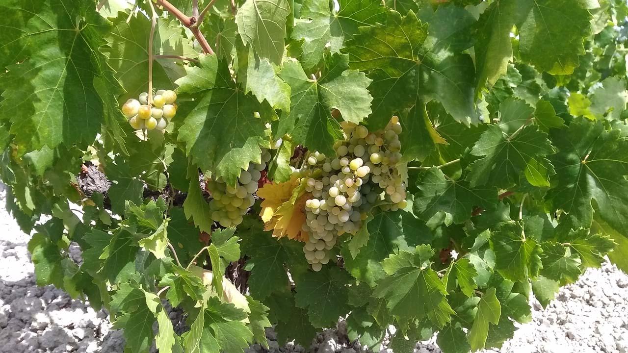 5 razones para visitar nuestra vendimia Montilla-Moriles