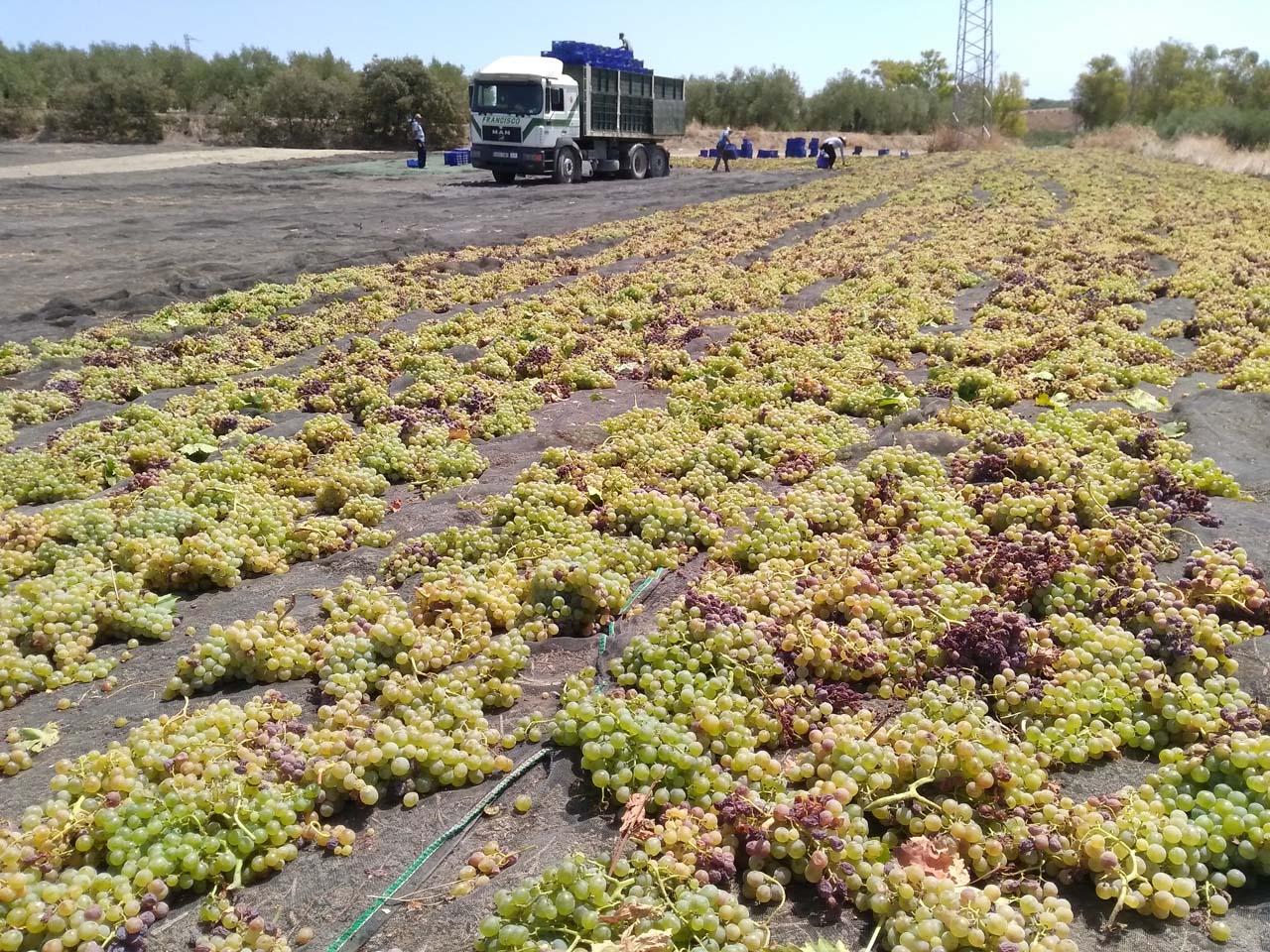 El soleado de la uva Pedro Ximénez, uno de los trabajos más duros de la Pasera