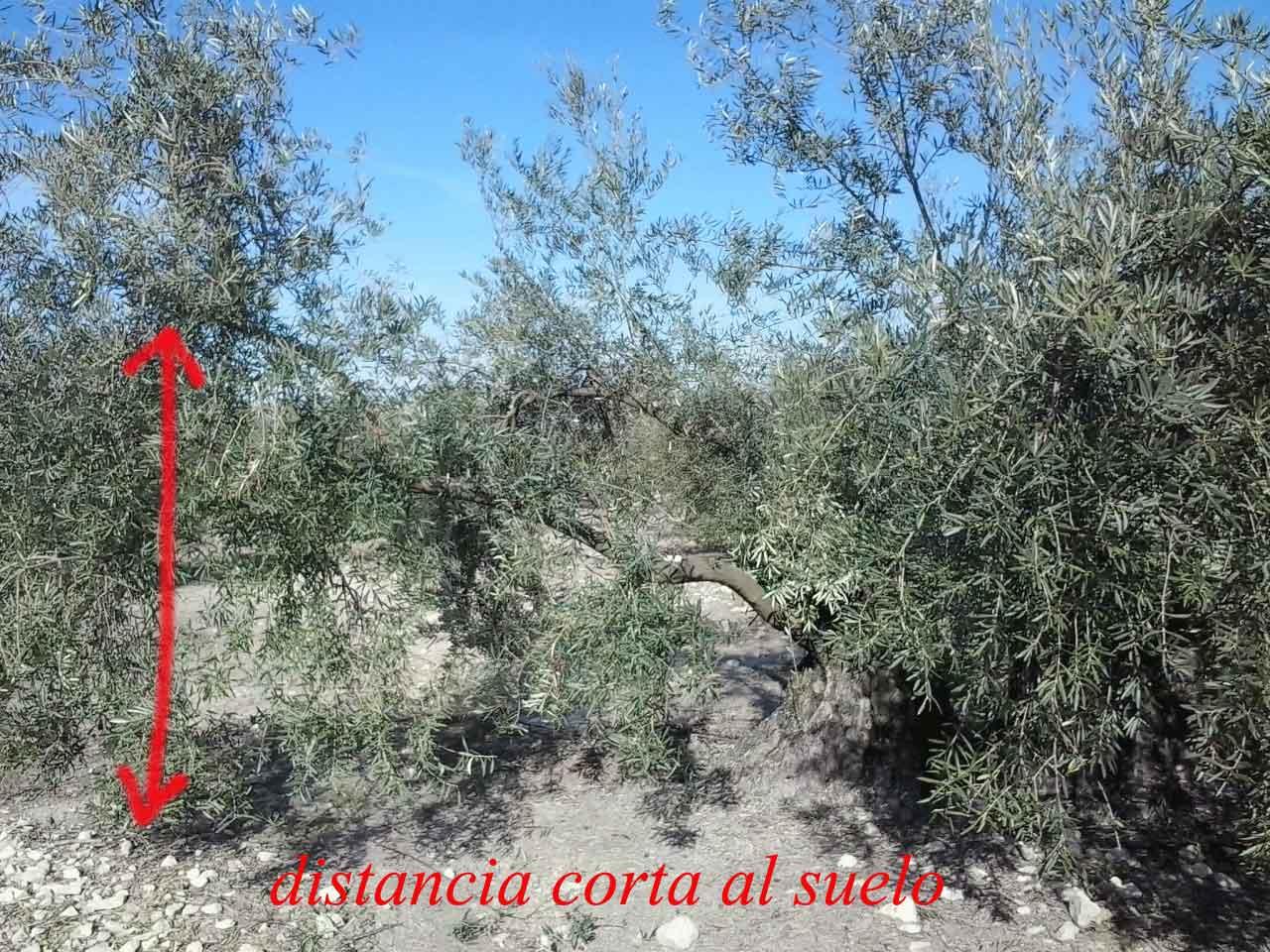 que es la poda del olivo