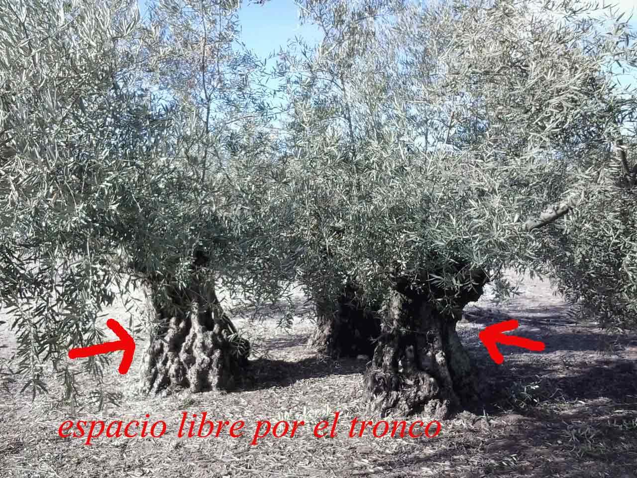 que es la poda del olivo y porque se hace