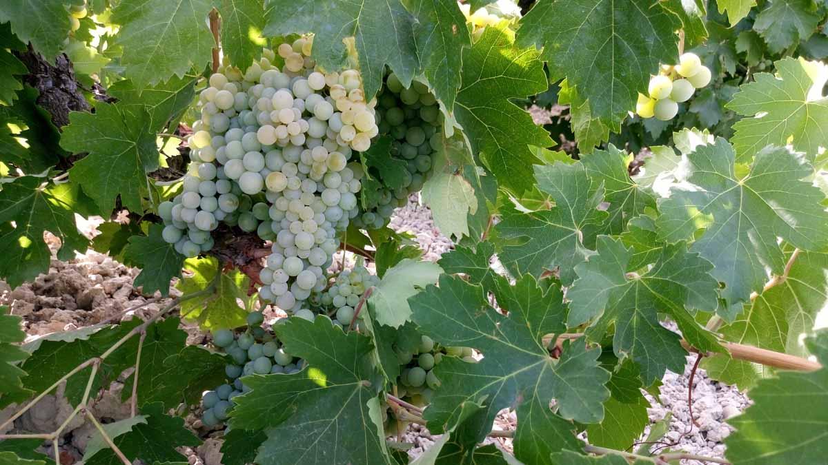 Seguimiento de maduracion de la uva, que es, por que y como se hace