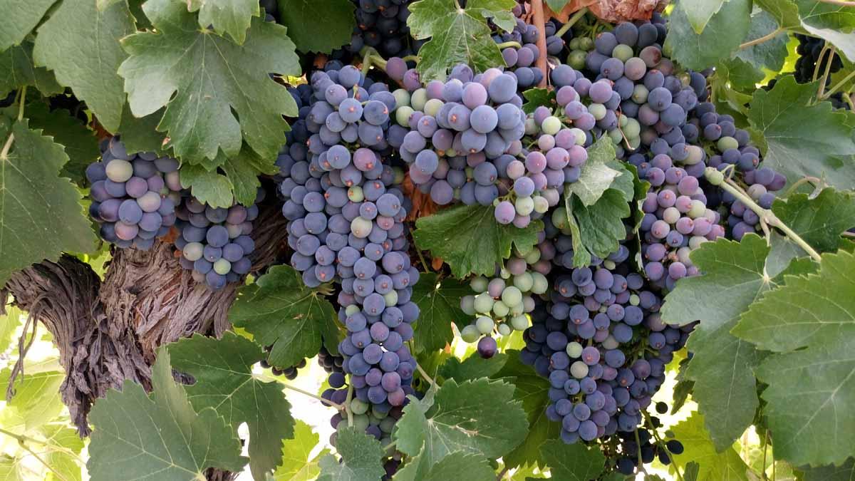 seguimiento de maduración de la uva