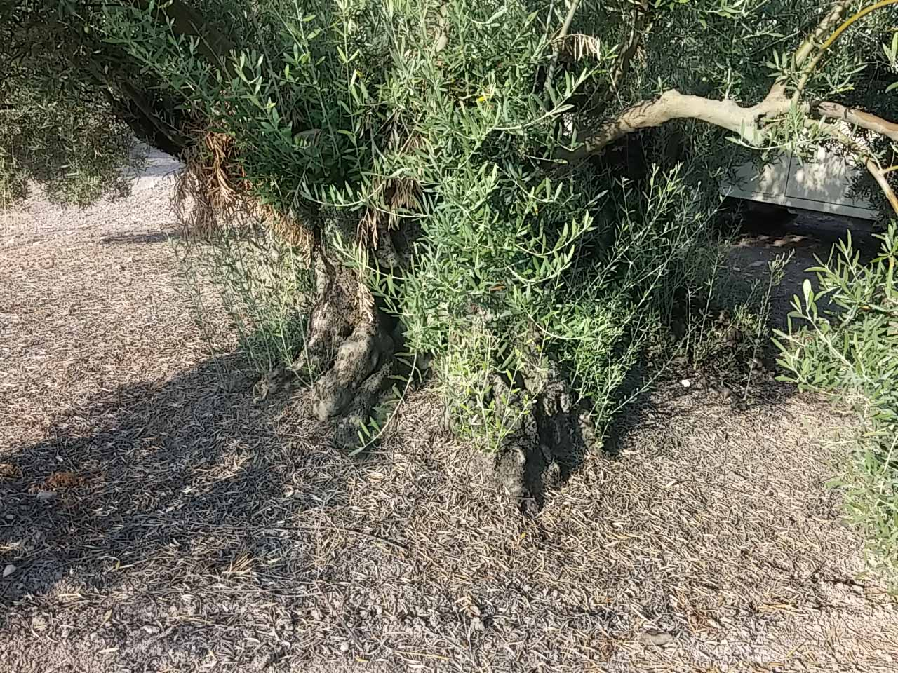 Qué es el desvaretado del olivo