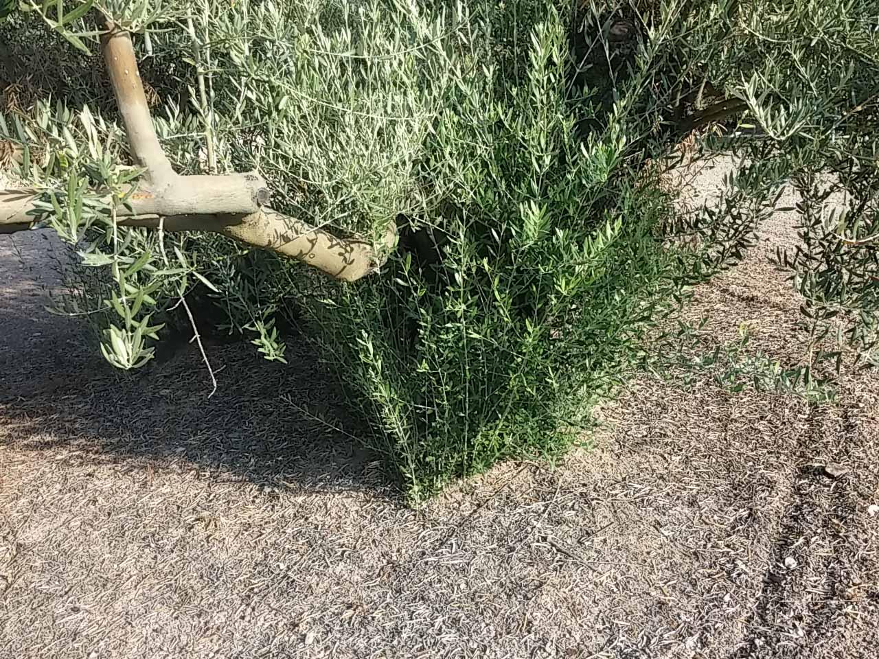Qué es el desvaretado del olivo 2