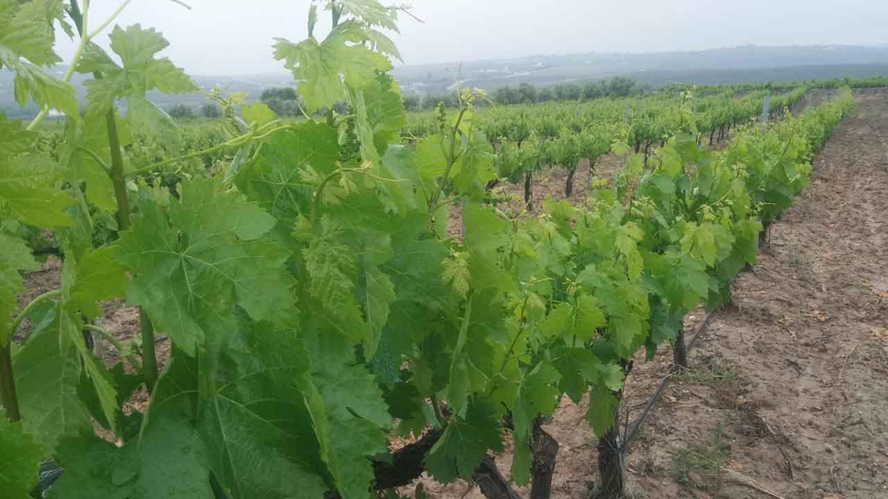 Oidio, qué es y cómo combatirlo en la viña