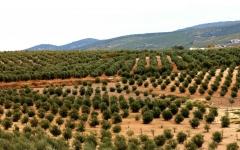 Nuestros olivares