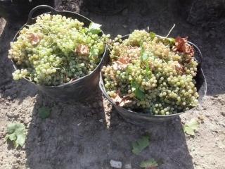 La CE aprueba un nuevo sistema de autorizaciones para plantar viña
