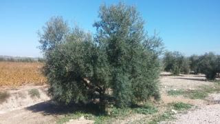 Ya se pueden solicitar las ayudas agroambientales al olivar