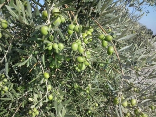El olivar en España supera las 2,59 millones de hectáreas