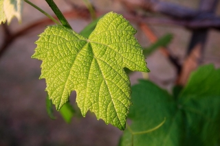 Nuevo sistema de autorizaciones de viñedo