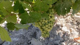Nuestra uva y aceituna progresan adecuadamente