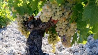 Ayudas COVID-19 a viticultores de Andalucía