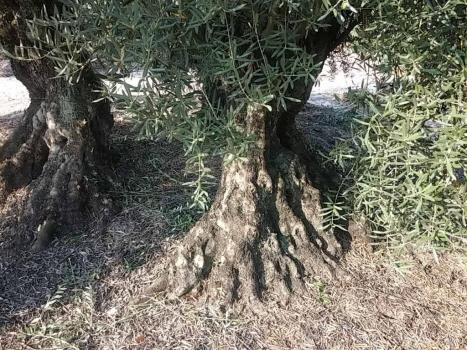 ¿Qué es el desvaretado del olivo?