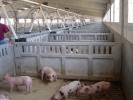 PIGS FATTENING