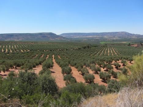 Tiempo de recolección de la aceituna en cultivo ecológico