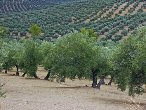 Recoge la mejor aceituna, en cultivo ecológico