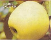 MANZANO GOLDEN C. G. 10 Y.D. (Smothe)