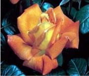 ROSAL LOUIS DE FUNES ® - Meirestif