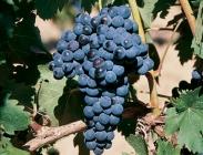 Uva de Vinificación Negra