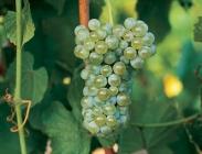 Uva de Vinificación Blanca