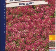 ALISO ENANO VIOLETA ROYAL CARPET - ALFOMBRA REAL...
