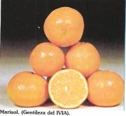 MANDARINO CLEMENTINA MARISOL - 25