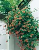 LONICERA DROPMORE SCARLET [P]