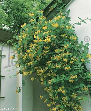 Madreselva comprar plantas online fitoagr cola - Madreselva en maceta ...