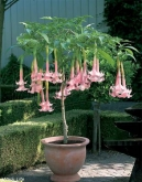 BRUGMANSIA HIBRIDA TWIN FLOWERS ROSA [P]