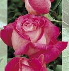 Rosal Híbrido de Té