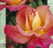 ROSAL PICCADILLY [JJUB] TU06