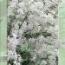 DEUTZIA GRACILIS [JJUB] TU-10