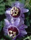 Passifloras