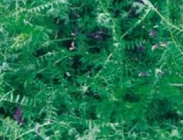 Semillas de Veza Sativa ó Vicia Sativa