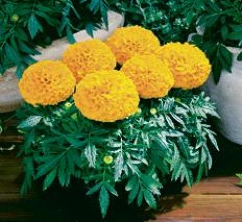 TAGETE ERECTA ANTIGUA TAISHAN / PROUD MARY NARANJA (240 Plantas).