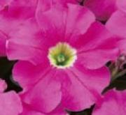PETUNIA GRANDIFLORA DREAMS PINK (240 Plantas).