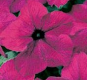 PETUNIA GRANDIFLORA DREAMS BURGUNDY (240 Plantas).