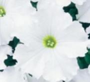 PETUNIA GRANDIFLORA DREAMS BLANCO (240 Plantas).