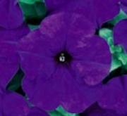 PETUNIA GRANDIFLORA DREAMS AZUL (240 Plantas).