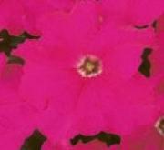 PETUNIA GRANDIFLORA DREAMS ROSA OSCURO (240...