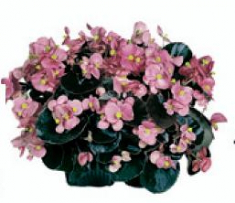 BEGONIA COCKTAIL ROSA (Hoja Bronce) SEMPERFLORENS (240 Plantas).