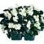 BEGONIA COCKTAIL BLANCA (Hoja Bronce) SEMPERFLORENS (240 Plantas).