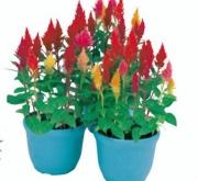 CELOSIA PLUMOSA KIMONO MIX (240 Plantas).
